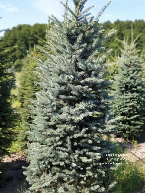Ялина блакитна Глаука (Picea pungens Glauca) ФОТО Розплідник рослин Природа (66)
