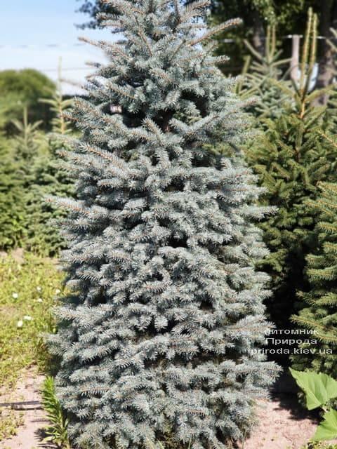 Ялина блакитна Глаука (Picea pungens Glauca) ФОТО Розплідник рослин Природа (67)