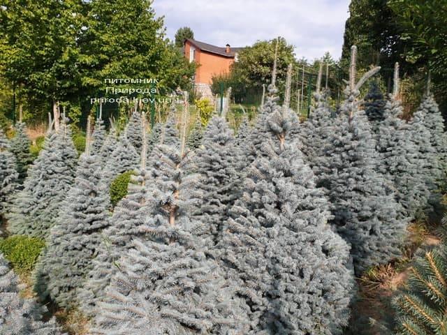 Ялина блакитна Глаука (Picea pungens Glauca) ФОТО Розплідник рослин Природа (68)