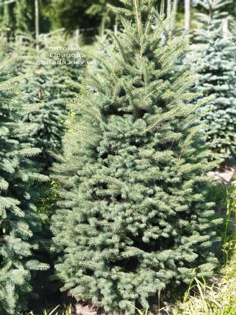 Ялина блакитна Глаука (Picea pungens Glauca) ФОТО Розплідник рослин Природа (69)