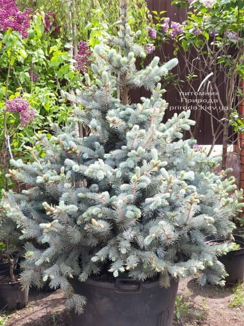 Ель голубая Хупси (Picea pungens Hoopsi) ФОТО Питомник растений Природа (1)