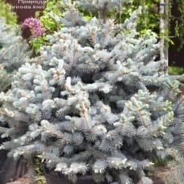 Ель голубая Хупси (Picea pungens Hoopsi) ФОТО Питомник растений Природа (2)