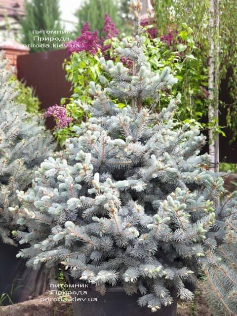 Ель голубая Хупси (Picea pungens Hoopsi) ФОТО Питомник растений Природа (3)