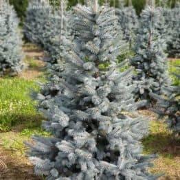 Ель голубая Хупси (Picea pungens Hoopsi) ФОТО Питомник растений Природа (4)