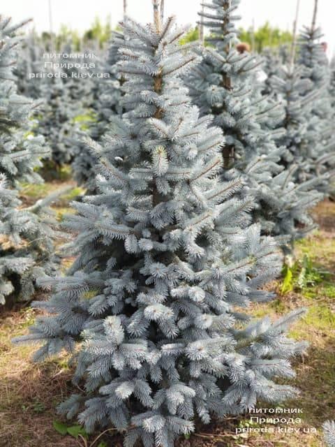 Ель голубая Хупси (Picea pungens Hoopsi) ФОТО Питомник растений Природа (5)