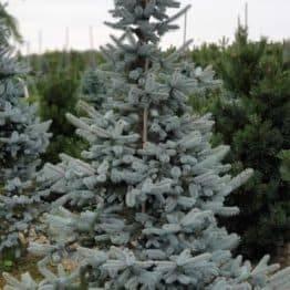 Ель голубая Хупси (Picea pungens Hoopsi) ФОТО Питомник растений Природа (6)