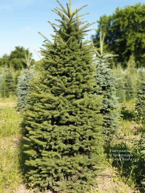 Ель колючая Глаука (Picea pungens Glauca) ФОТО Питомник растений Природа (1)