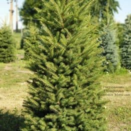 Ель колючая Глаука (Picea pungens Glauca) ФОТО Питомник растений Природа (10)