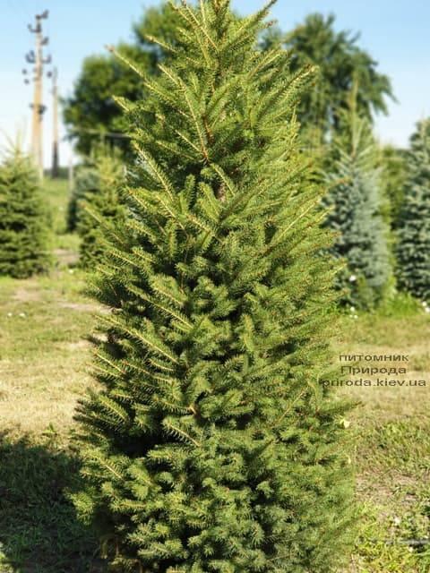 Ялина колюча Глаука (Picea pungens Glauca) ФОТО Розплідник рослин Природа (10)