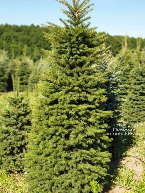 Ель колючая Глаука (Picea pungens Glauca) ФОТО Питомник растений Природа (11)