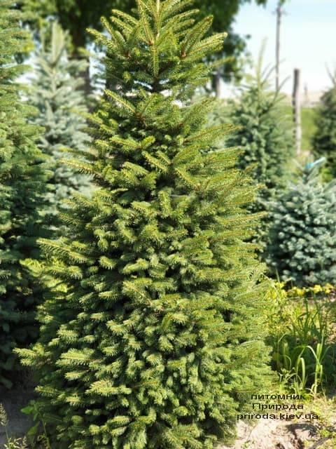 Ель колючая Глаука (Picea pungens Glauca) ФОТО Питомник растений Природа (12)