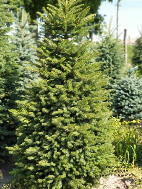 Ялина колюча Глаука (Picea pungens Glauca) ФОТО Розплідник рослин Природа (12)