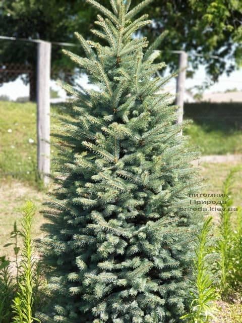 Ель колючая Глаука (Picea pungens Glauca) ФОТО Питомник растений Природа (13)