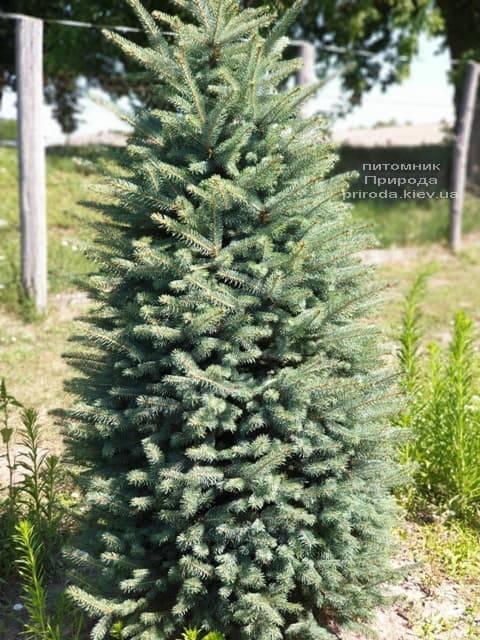 Ель колючая Глаука (Picea pungens Glauca) ФОТО Питомник растений Природа (14)