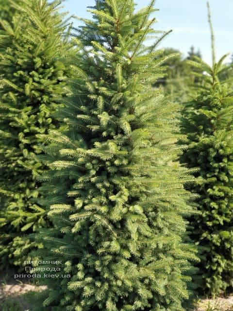 Ель колючая Глаука (Picea pungens Glauca) ФОТО Питомник растений Природа (15)