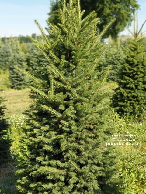 Ель колючая Глаука (Picea pungens Glauca) ФОТО Питомник растений Природа (16)