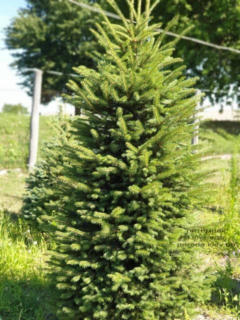 Ель колючая Глаука (Picea pungens Glauca) ФОТО Питомник растений Природа (17)