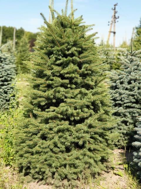 Ель колючая Глаука (Picea pungens Glauca) ФОТО Питомник растений Природа (2)