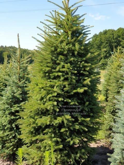 Ель колючая Глаука (Picea pungens Glauca) ФОТО Питомник растений Природа (3)