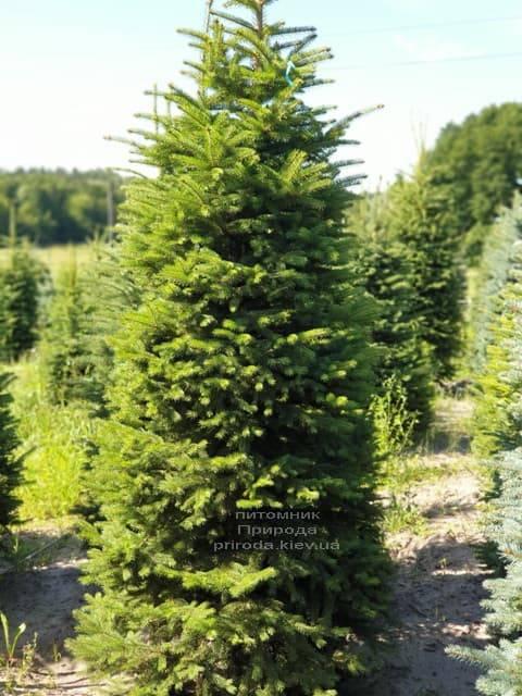 Ель колючая Глаука (Picea pungens Glauca) ФОТО Питомник растений Природа (4)