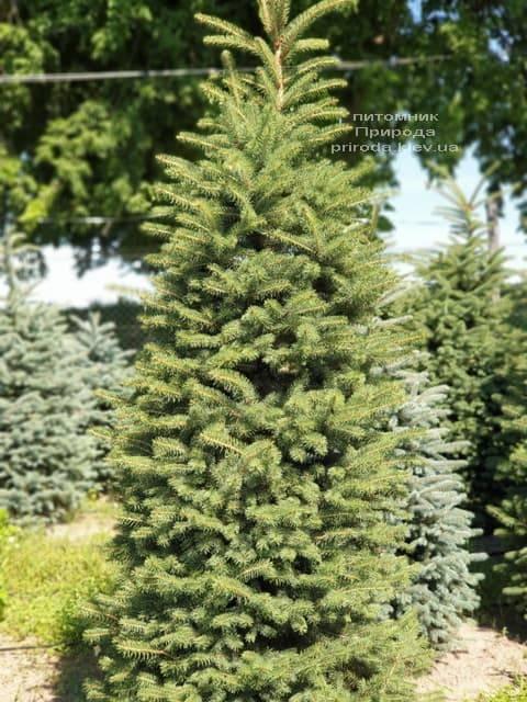 Ель колючая Глаука (Picea pungens Glauca) ФОТО Питомник растений Природа (5)