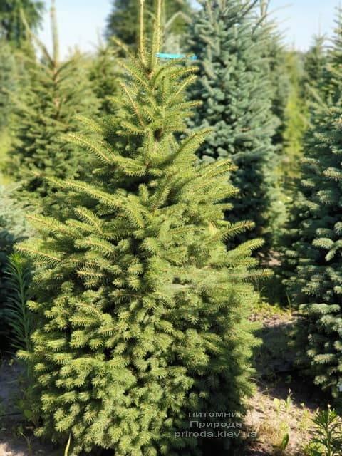 Ель колючая Глаука (Picea pungens Glauca) ФОТО Питомник растений Природа (6)