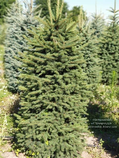 Ялина колюча Глаука (Picea pungens Glauca) ФОТО Розплідник рослин Природа (8)