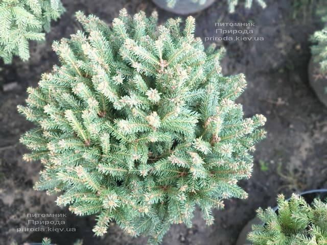 Ель обыкновенная Олендорфи (Picea abies Ohlendorffii) ФОТО Питомник растений Природа (1)