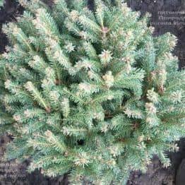 Ель обыкновенная Олендорфи (Picea abies Ohlendorffii) ФОТО Питомник растений Природа (2)