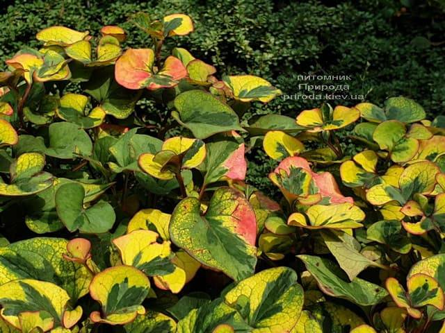 Хауттюйния сердцевидная Хамелеон (Houttuynia cordata Chameleon) ФОТО Питомник растений Природа (1)
