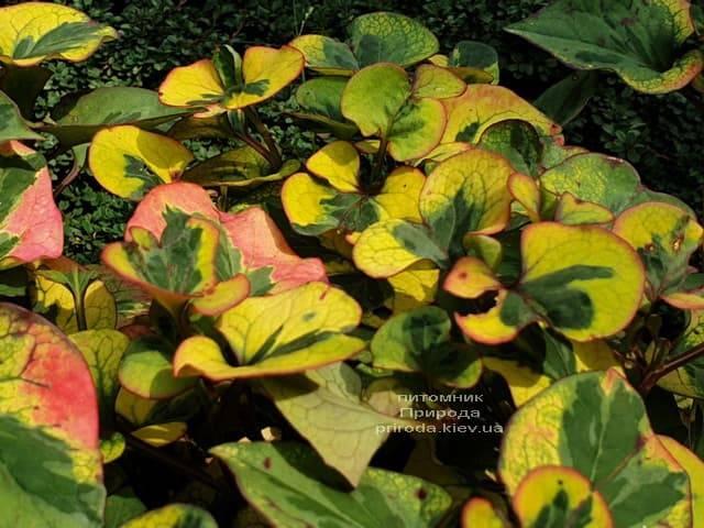 Хауттюйния сердцевидная Хамелеон (Houttuynia cordata Chameleon) ФОТО Питомник растений Природа (2)