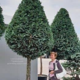 Кипарисовик Лавсона Колумнарис (Chamaecyparis lawsoniana Columnaris) ФОТО Питомник растений Природа (1)