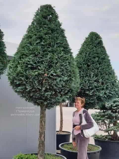 Кипарисовик Лавсона Колумнаріс (Chamaecyparis lawsoniana Columnaris) ФОТО Розплідник рослин Природа (1)
