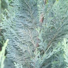 Кипарисовик Лавсона Колумнарис (Chamaecyparis lawsoniana Columnaris) ФОТО Питомник растений Природа (9)
