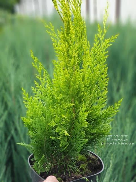 Кипарисовик Лавсона Ивонне на штамбе (Chamaecyparis lawsoniana Ivonne) ФОТО Питомник растений Природа (1)