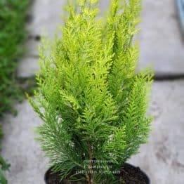 Кипарисовик Лавсона Ивонне на штамбе (Chamaecyparis lawsoniana Ivonne) ФОТО Питомник растений Природа (2)