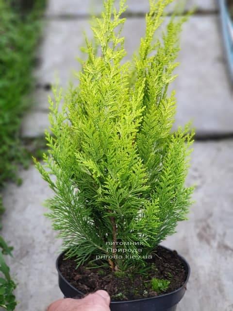 Кипарисовик Лавсона Івонне на штамбі (Chamaecyparis lawsoniana Ivonne) ФОТО Розплідник рослин Природа (2)