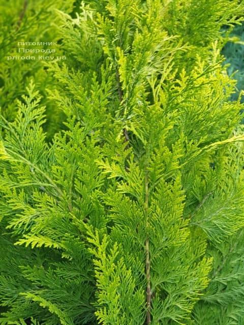 Кипарисовик Лавсона Ивонне на штамбе (Chamaecyparis lawsoniana Ivonne) ФОТО Питомник растений Природа (3)