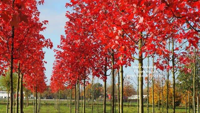 Клен красный Сомерсет (Acer rubrum Somerset) ФОТО Питомник растений Природа (1)