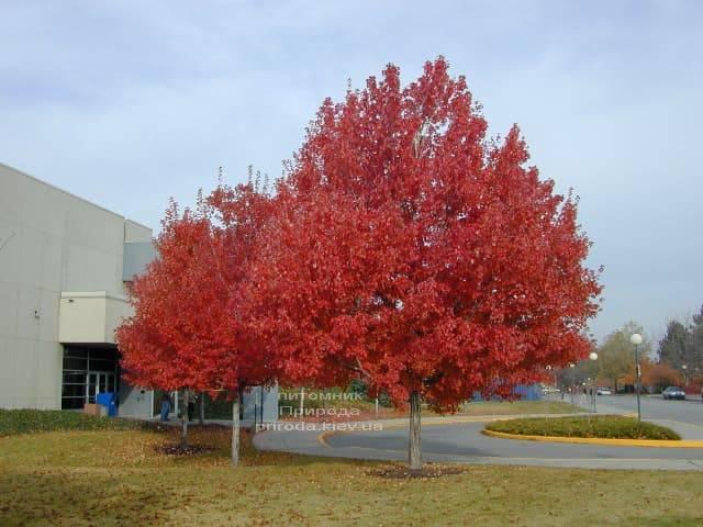 Клен красный Сомерсет (Acer rubrum Somerset) ФОТО Питомник растений Природа