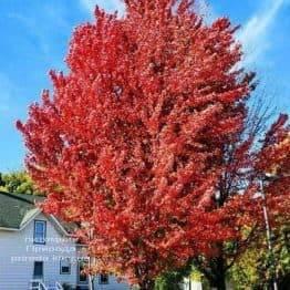 Клен красный Фримана Селебрейшн (Acer rubrum freemanii Celebration) ФОТО Питомник растений Природа (1)