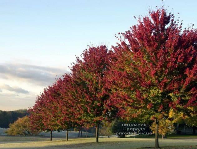 Клен красный Фримана Селебрейшн (Acer rubrum freemanii Celebration) ФОТО Питомник растений Природа (2)