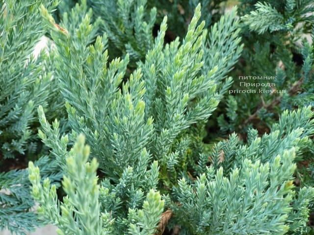 Можжевельник горизонтальный Блю Чип (Juniperus horizontalis Blue Chiр) ФОТО Питомник растений Природа (1)