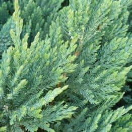 Можжевельник горизонтальный Блю Чип (Juniperus horizontalis Blue Chiр) ФОТО Питомник растений Природа (2)