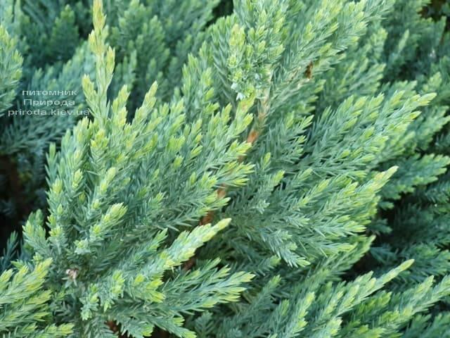 Ялівець горизонтальний Блю Чіп (Juniperus horizontalis Blue Chiр) ФОТО Розплідник рослин Природа (2)
