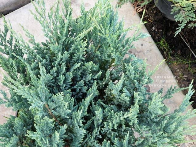 Ялівець горизонтальний Блю Чіп (Juniperus horizontalis Blue Chiр) ФОТО Розплідник рослин Природа (3)