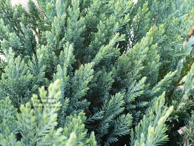 Ялівець горизонтальний Блю Чіп (Juniperus horizontalis Blue Chiр) ФОТО Розплідник рослин Природа (4)