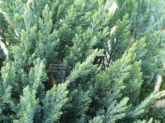 Ялівець горизонтальний Блю Чіп (Juniperus horizontalis Blue Chiр) ФОТО Розплідник рослин Природа (5)