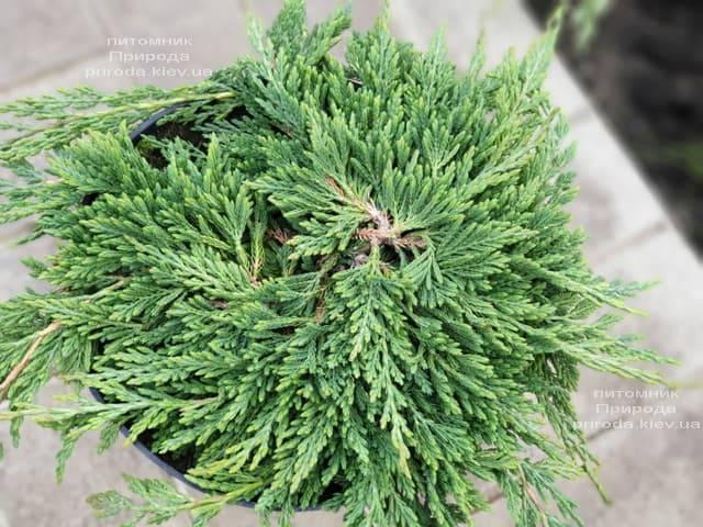 Можжевельник горизонтальный Панкейк (Juniper horizontalis Pancake) ФОТО Питомник растений Природа (2)
