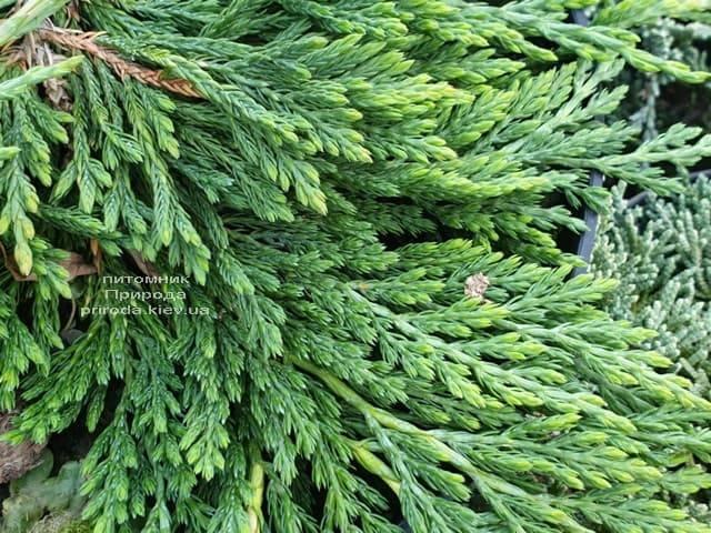 Ялівець горизонтальний панкейк (Juniper horizontalis Pancake) ФОТО Розплідник рослин Природа (4)